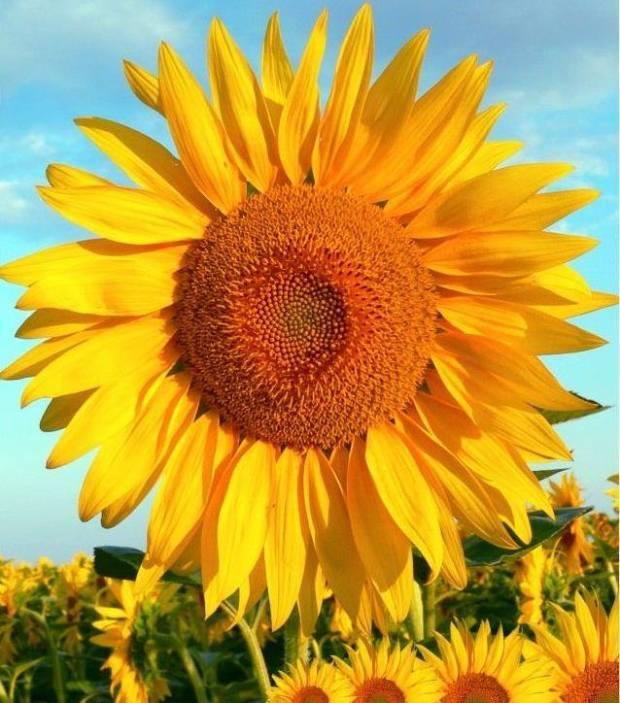 """Campo de girassóis representa a Espiritualidade Corporativa. """"Essa flor sempre está voltada para o alto, na direção do sol, independente das nuvens. É um grande exemplo de espiritualidade, pois devemos estar sempre olhando para o alto, mesmo em dias nublados"""", explica Aparecida"""
